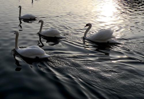 2010_03_07_swans_01