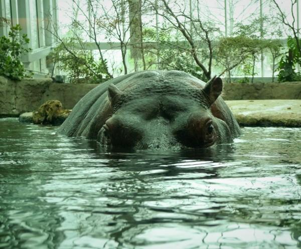 2010-05-13_hippo_01